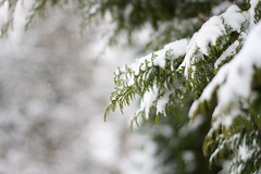 Pine (dvanzuijlekom) Tags: winter snow tree pine sneeuw arnhem thenetherlands wonderland veluwe 2012 gelderland canonef50mmf18mkii canoneos7d buitenplaatskoningsweg kampkoningswegnoord