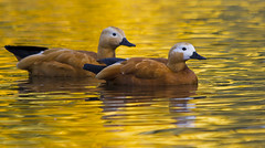 Ruddy shelducks (Alchimi) Tags: wild birds wildlife