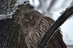 HOO are you (Silentii) Tags: bird birds montreal royal owl mont owls barred