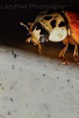 Ladybug Close up 3 (Lazy Pixel) Tags: macro lensbaby canon eyes bugs ladybug 60mm antenna