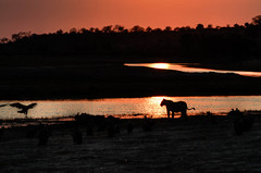 """Lioness at Sunrise in Botswana • <a style=""""font-size:0.8em;"""" href=""""https://www.flickr.com/photos/21540187@N07/8293283587/"""" target=""""_blank"""">View on Flickr</a>"""