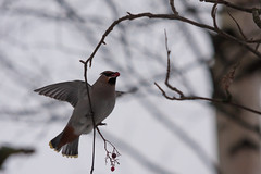Day 303/366 (Explodingfish) Tags: autumn tree bird finland berry branch eating birch rowan jyvskyl bohemianwaxwing canon40d centralfinland 366project sigma150500mmf563apodgoshsm