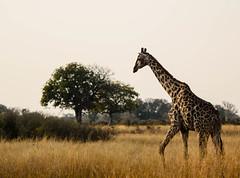 "Giraffe in Okavango Delta, Botswana • <a style=""font-size:0.8em;"" href=""https://www.flickr.com/photos/21540187@N07/8294354136/"" target=""_blank"">View on Flickr</a>"