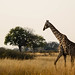 "Giraffe in Okavango Delta, Botswana • <a style=""font-size:0.8em;"" href=""https://www.flickr.com/photos/21540187@N07/8294354136/"" target=""_blank"">View on Flickr</a>"