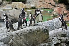 (Humboldt Penguin) (Dakiny) Tags: bird animal zoo penguin nikon yokohama v1  mammalia   humboldtpenguin    zoorasia redlist    nikon1 yokohamazoologicalgardens
