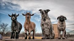 West Side Crew (sixpackshack) Tags: dog pug goat pygmygoat australiancattledog heeler thelittledoglaughed ldlportraits