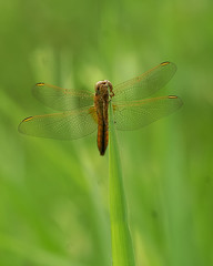 Crocothemis erythraea - Vuurlibel (henk.wallays) Tags: macro nature up insect close dragonflies dragonfly wildlife odonata libel erythraea libelulle odonate crocothemis vuurlibel odonatab