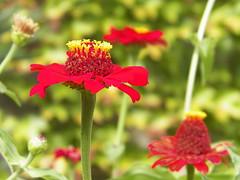 100 _1789 (Cassiope2010) Tags: nature fleurs zinnia plantes cvennes