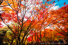 Tofukuji Temple Kyoto, Japan (dgbs86) Tags: red sky orange color colour tree leaves japan clouds leaf maple kyoto colorful 5d 1635mm colorimage kyotoprefecture earthasia 5dmarkiii canoneos1635mmf28l