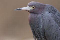 Little Blue Heron (Let there be light (A.J. McCullough)) Tags: heron birds texas brazosbend littleblueheron texasbirds featheryfriday
