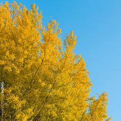 天天向上 Up every day / Kyoto, Japan (yameme) Tags: travel japan canon eos ginkgo kyoto 京都 日本 銀杏 kansai 旅行 關西 東本願寺 higashihonganjitemple 24105mmlis 5d3 5dmarkiii