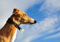 DSC_0153 - Ruby in the Sky - Explored (SWJuk) Tags: uk england sky greyhound dogs closeup nikon yorkshire ruby dales 2010 saluki yorkshiredales d90 nikond90 salukigreyhound myfreecopyright swjuk mygearandme jun2010 highqualitydogs
