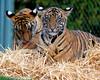 berani & dumai (fridayschild68) Tags: washington tacoma sumatrantiger tigercubs pointdefiancezoo malayantiger 522012