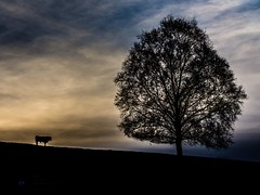 Tree. Bull (Shotslot) Tags: autumn trees portrait tree animals landscape cows trentham flowersplants hanchurch