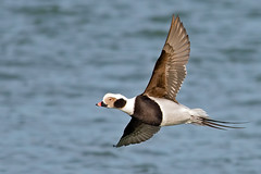 Long-tailed Duck Male (Brian E Kushner) Tags: park new city light lighthouse beach birds animals island duck nikon long state wildlife jetty nj 300mm jersey inlet barnegat f4 d800 birdwatcher tc14eii longtailed nikor longtailedduck clangulahyemalis tc14 nikond800 bkushner brianekushner nikon300mmf40dedifafsnikkorlens