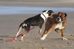 English Bull Terrier vs Boxer! (Hans Surfer (where the action is)) Tags: beach boxer englishbullterrier callantsoog