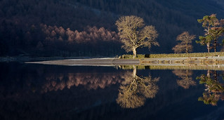 The Buttermere Ash Tree