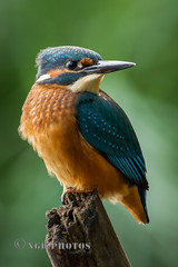 Kingfisher (Nigel Dell) Tags: autumn birds flickr seasons wildlife kingfisher avianexcellence ngdphotos