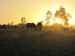 chevaux (x_arraz) Tags: horses horse sun sol caballo cheval atardecer caballos soleil twilight campo chevaux espigas