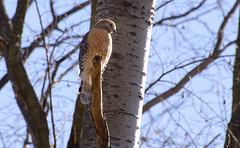 Red Shouldered Hawk (Land Matters Photography) Tags: northcarolina blueridgeparkway redshoulderedhawk blandyexperimentalfarm virginiastatearboretum bluffmountaintrail
