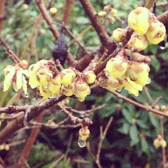 "I think this is called Chinese Wintersweet. It smells amazing! • <a style=""font-size:0.8em;"" href=""https://www.flickr.com/photos/61640076@N04/8413781461/"" target=""_blank"">View on Flickr</a>"