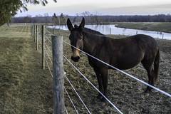 Teddy at the Fence (Morrow Cove) Tags: ranch trees sunset usa ice rural america canon fence landscape evening frozen illinois pond photographer unitedstates sundown teddy dusk country farmland pasture posts colchester mule mcdonough electricfence 60d mcdonoughcounty canoneos60d