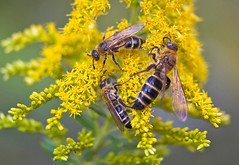 Scoliid Wasps Feeding On Goldenrod (aeschylus18917) Tags: danielruyle aeschylus18917 danruyle druyle ダニエルルール ダニエル ルール japan 日本 tokyo 東京 nikon d700 nikond700 nature macro pollination 105mmf28gvrmicro 105mmf28 nikkor105mmf28gvrmicro 105mm yellowtop goldenrod aaronsrod yellowasteraceaesolidago virgaaureas virgaaureaアキノキリンソウsolidago virgaaurea var asiatica yellow asteraceae solidagovirgaaurea アキノキリンソウ solidagovirgaaureavarasiatica pxt insect wasp hymenoptera scoliidae scoliinae ツチバチ 土蜂 scoliidwasp mammothwasp campsomerisschulthessi ハラナガツチバチ
