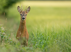 Young Roe Deer buck (Wouter's Wildlife Photography) Tags: male nature animal mammal wildlife young buck roedeer billund rdyr