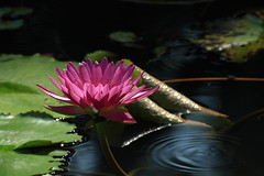 IMG_9097 (Martine.liu) Tags:   waterlilies