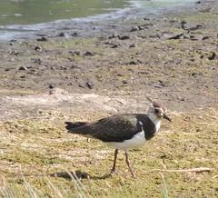 Lapwing (Turtlerangler) Tags: lapwing leightonmoss cumbria uk bird