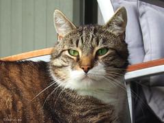 Watching the garden (Finn Frode (DK)) Tags: cats rest watch verandah bastian mixedbreed olympus omdem5 denmark animal pet cat outdoor