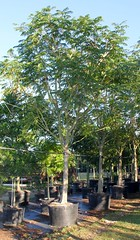 Peltophorum Pterocarpum (Copperpod) (TreeWorld Wholesale) Tags: peltophorum pterocarpum copperpod farm morning natura trees macro flower green art garden miami homestead florida photography nature earth environment gardening landscaping farmer forest trunks