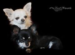 dog Chihuahua (laurek.photography) Tags: dog chien chihuahua anaiml domestique pets