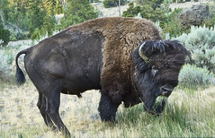 Buffalo at Yellowstone NP (swissukue) Tags: buffalo yellowstone animal wild sony a7 ilce7 astoundingimage usa