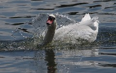 IMGP8578 (CatseyeGomez) Tags: reno nevada virginia lake bird swan