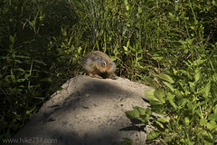 "Columbian Ground Squirrel • <a style=""font-size:0.8em;"" href=""http://www.flickr.com/photos/63501323@N07/28665542111/"" target=""_blank"">View on Flickr</a>"