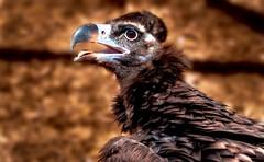 Vulture (Delbrckerin) Tags: vulture geier greifvogel vogel bird outdoor nikond90 nikkor80400