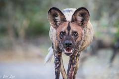 DT-166 (Photography by Brian Lauer) Tags: botswana dumatau africa safari safaris wildlife travel nikonphotography nikon lion elephant hippo fisheagle saddlebilledstork piedkingfisher lilacbreastedroller wilddog