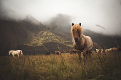 icelandichorses (Licht & Laune) Tags: icelandichorses icelandic ice icelandichorse horses horse iceland hest world stallionlife sland visir pferd hst pony icelandicpony islandpferd islandskhst islandskhest island trot krt tlt islnder schimmel stute islandspferd