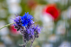 Cornflowers and Poppies (epe3x) Tags: blume blte mohn poppies epe3x flowers