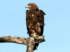 Buse augure - Augur Buzzard (dark morph) (charbonjoh) Tags: buteoaugur augur buzzard buse augure darkmorph formesombre tanzania lakendutu largebirds