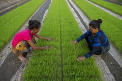 Farmers Kanchimaya Pakhrin and her neighbor Phulmaya Lobshan weeding rice seedling bed sown by machine in Purnabas, Kanchanpur. (CIMMYT) Tags: nepal csisa cimmyt maize agriculture smallholder farmer mechanization asia