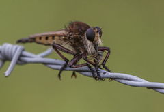 Robberfly with Prey (Klaus Ficker --Landscape and Nature Photographer--) Tags: robberfly closeup insects kentucky kentuckyphotography klausficker canon eos5dmarkii tamron180mmmarco