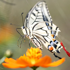 Papilio Machaon Take off to the sky (Johnnie Shene Photography(Thanks, 1Million+ Views)) Tags: papiliomachaon swallowtailbutterfly oldworldswallowtail flying flight midair square flora flower plant fulllength takeoff flapping wings limbs photography outdoor colourimages fragility freshness nopeople foregroundfocus depthoffield interesting awe wonder lowangle tranquility motion nature natural wild wildlife hemiptera insect bug animal behaviour shortexposure day summer korea canon eos600d rebelt3i kissx5 tamron 90mm f28 11 macro lens