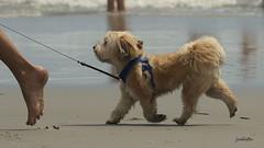 heel (judecat (relaxing by the sea)) Tags: dog canine beach wildwood wildwooddogbeach newjersey
