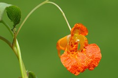 Orange Balsam - Impatiens capensis180816 (3) (Richard Collier - Wildlife and Travel Photography) Tags: flowers wildflowers flora macro british flowersenglishflowers orangebalsam impatienscapensis