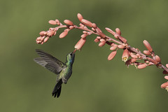 Broad-billed Hummingbird (www.studebakerstudio.com) Tags: broadbilled hummingbird broadbilledhummingbird bird studebaker nature wildlife flower hover bokeh arizona desert