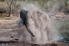 DT-140 (Photography by Brian Lauer) Tags: botswana dumatau africa safari safaris wildlife travel nikonphotography nikon lion elephant hippo fisheagle saddlebilledstork piedkingfisher lilacbreastedroller wilddog