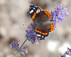Red Admiral (eric robb niven) Tags: ericrobbniven scotland red admiral butterfly wildlife nature summerwatch wild