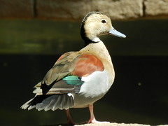 Ringed Teal Duck (Digitally Remastered) Tags: bird finch gouldian kingdom